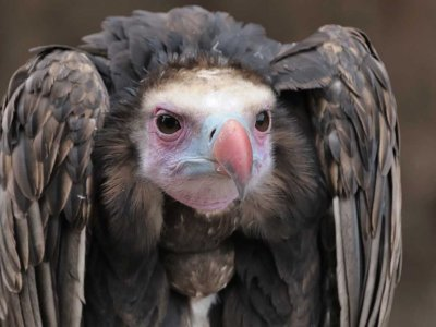 FLiteTraX on White Headed Vulture