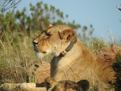 South Africa National Parks - CellTraX on Lions