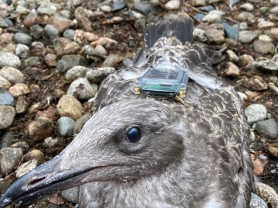 University of New England FLiteTraX on Seagulls
